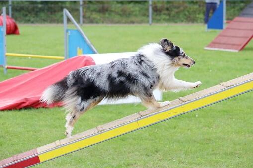 dog ramp